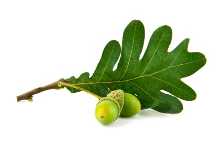 acorns and the oak leaves on a white background photo