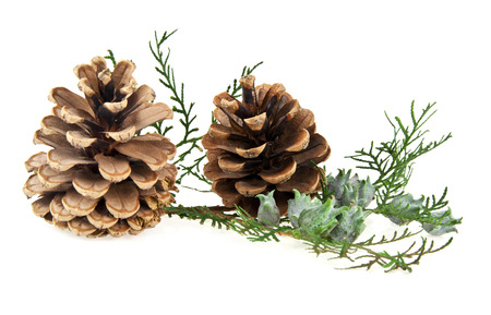 the cones and the branch of a tree on a white background photo