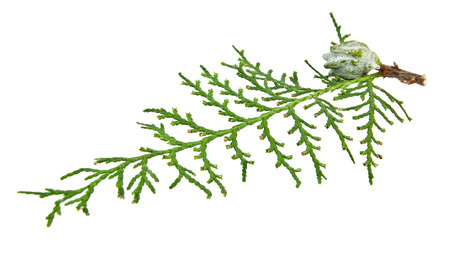 thuja occidentalis: branch of thuja on a white background