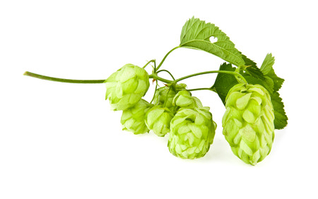 humulus: hop on a white background