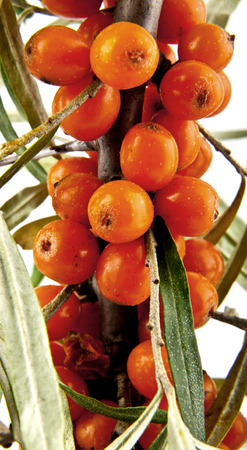 seabuckthorn: sea-buckthorn on a beolm background