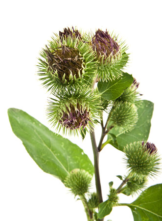 Inflorescence of Greater Burdock on white background Stock Photo