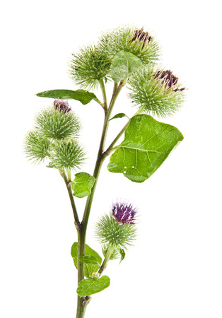 Inflorescence of Greater Burdock. on white background 免版税图像 - 25808203