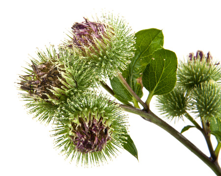 Inflorescence of Greater Burdock. on white background photo
