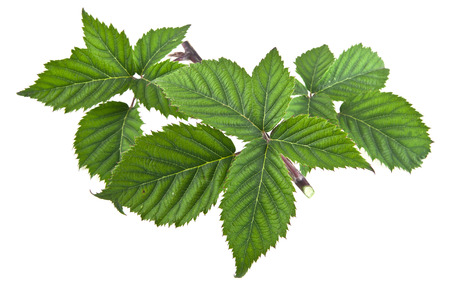 bramble: leaves on a white background. picture from series.