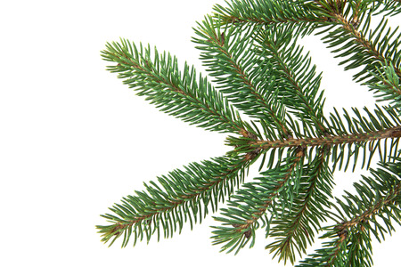 pine needles close up: branch of fir-tree on a white background Stock Photo