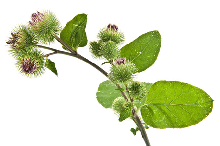 Inflorescence of Greater Burdock. on white background. One picture from series. photo