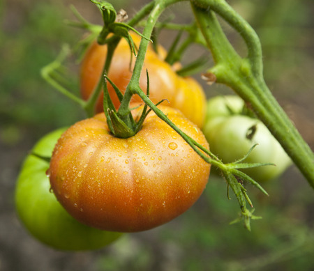 embryonic: tomatoes on a branch