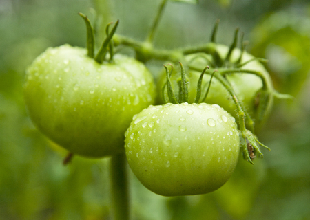 embryonic: green tomatoes on a branch