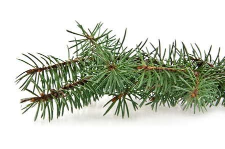 firtree: branch of fir-tree on a white background Stock Photo