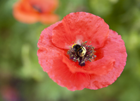 sedation: flowers of poppy on a green background