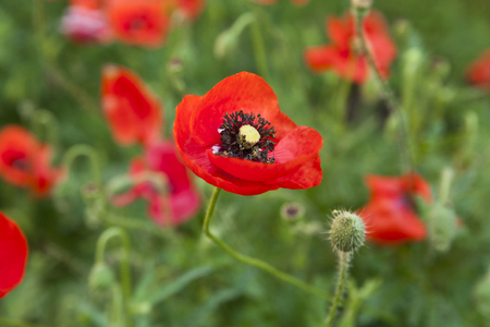 sedation: flower of poppy on a green background Stock Photo