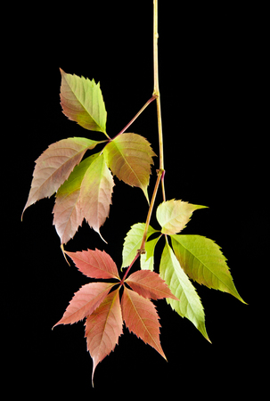 bower: autumn leaves of vine on a black background