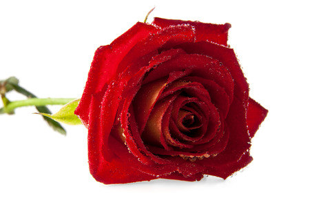 bourgeon: a rose is isolated on a white background