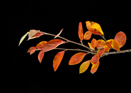 autumn color: branch with autumn leaves on a black background