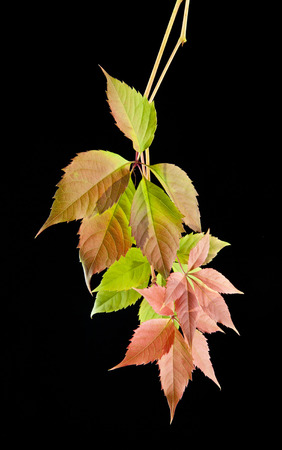 wet leaf: autumn leaves of vine on a black background