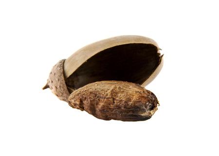 fagaceae: acorn on a white background