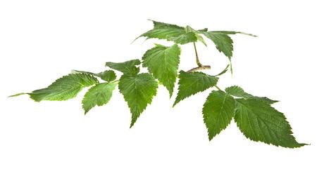 elasticidad: las hojas de frambuesa son aislados en un fondo blanco