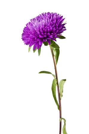 green purple: flowers are isolated on a white background Stock Photo