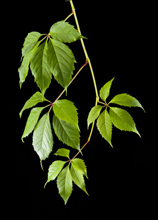 greenness: leaves of vine on a black background Stock Photo