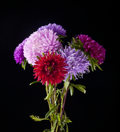 dalia: flowers on a black background