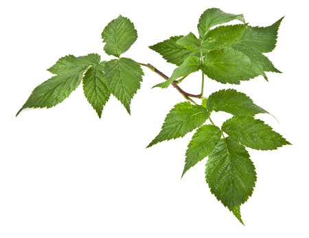 subtlety: the leaves of raspberry are isolated on a white background