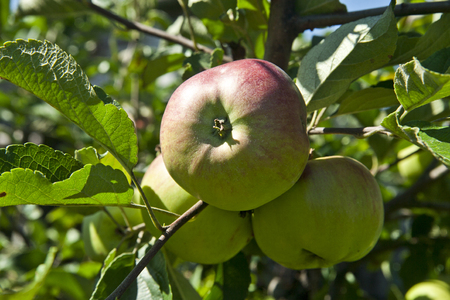small tree: fresh and juicy apples on a branch Stock Photo