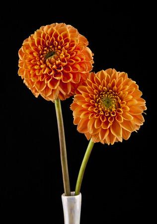dahlia: flores sobre un fondo negro  Foto de archivo