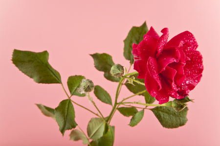 rose flower on a pink background close up