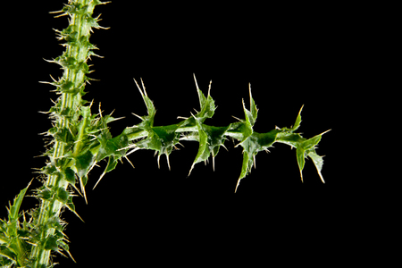 the leaves of milk Thistle on a black background closeup