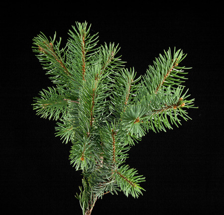 branch of fir-tree on a black background