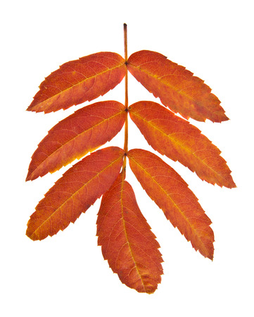autumn leaves of a mountain ash isolated on a white background closeup