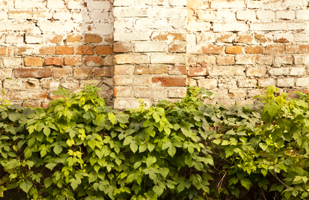 mottle: vines old brick wall with a textured surface as a background Stock Photo