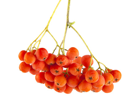 Rowan berries on a branch isolated on white background
