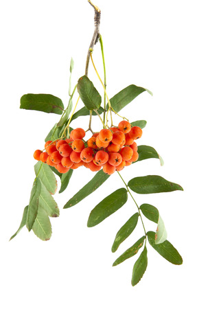 sorb: Rowan berries on a branch isolated on white background