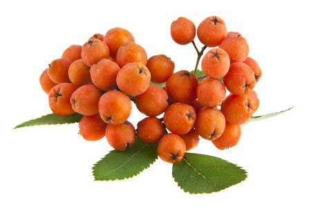 rowan berry isolated on white background closeup Stock Photo