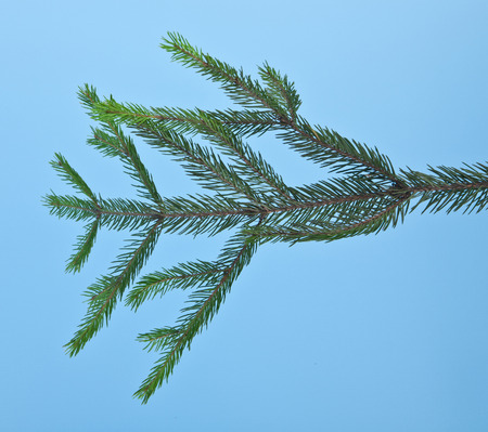 branch of fir-tree is isolated on a blue background closeup Stock Photo