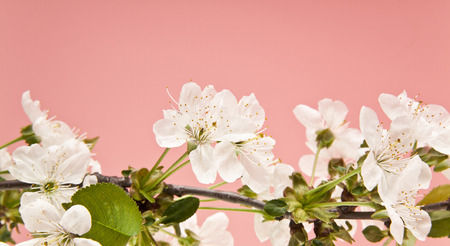 spring cherry blossoms on pink background closeup