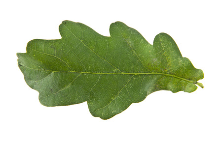 quercus robur: oak leaves isolated on white background