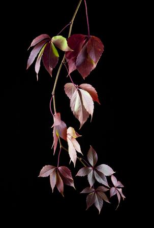 grape leaves on black background closeup