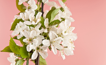 cherry flowers on pink background closeup