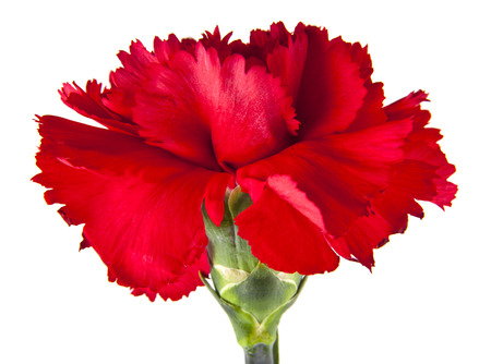 red carnation flowers isolated on white background