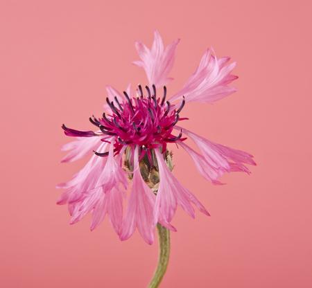 pink flower of Centaurea on pink background
