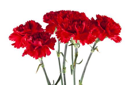 czerwone kwiaty goździków na białym tle Zdjęcie Seryjne