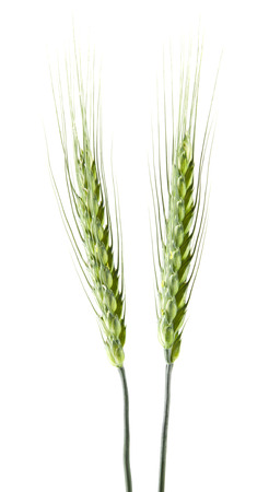 green spikelets of wheat isolated on white background Stock fotó - 112068608
