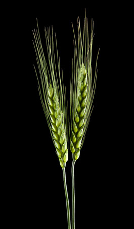 green spikelets of wheat isolated on a black background