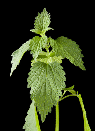 green nettle isolated on a black background