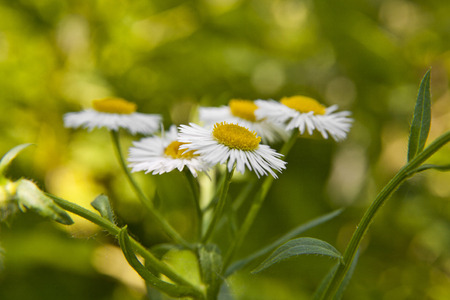 chamomile flowers in the garden with a defocused background Foto de archivo