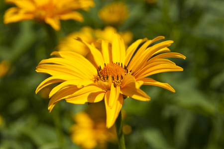 flowers Heliopsis in the garden with a defocused background Imagens