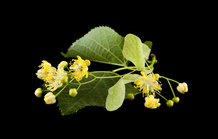linden flowers isolated on a black background Фото со стока